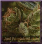 CBD Seeds One to One Female Cannabis Strain Buy Online